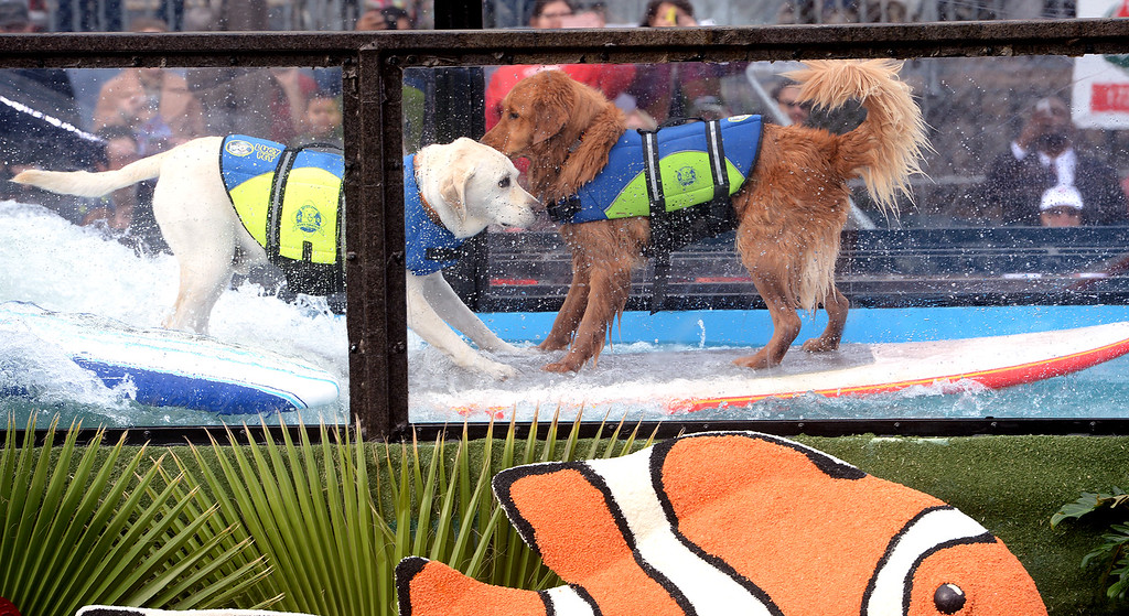 . Surfin\' dogs share a surfboard and a wave in the Lucy Pet float wave tank during the Rose Parade in Pasadena, Calif. on Monday, Jan. 2, 2017.  (Photo by Leo Jarzomb, SGV Tribune/ SCNG)
