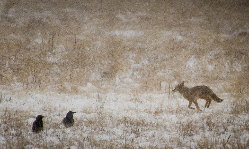 . A coyote runs passed two ravens on the dry lakebed of Big Bear Lake at Stanfield Cutoff during a snowstorm in the San Bernardino National Forest in Big Bear, Thursday, Jan. 12, 2017. (Eric Reed/For The Sun/SCNG)