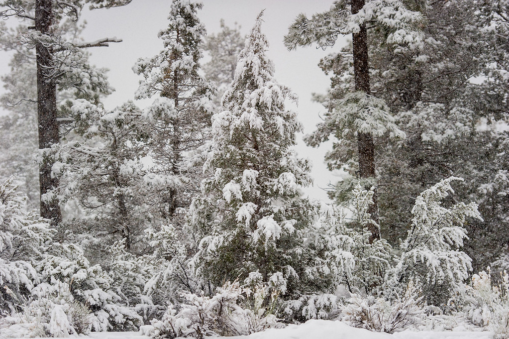 . Snow covered trees during a snowstorm in the San Bernardino National Forest near Fawnskin, Thursday, Jan. 12, 2017. (Eric Reed/For The Sun/SCNG)