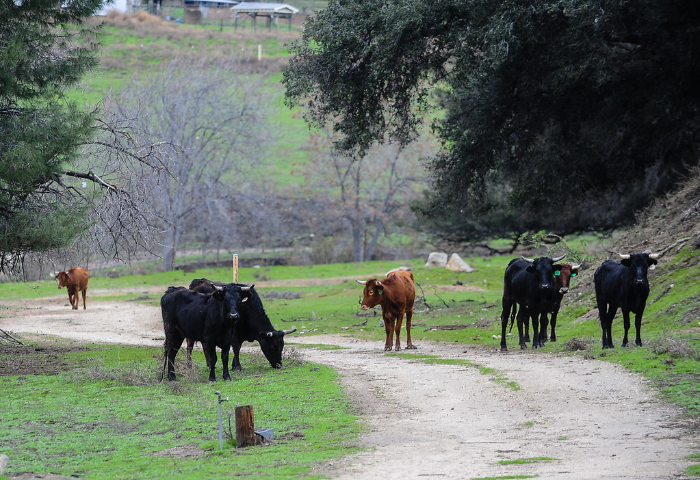 . A herd of cattle roams on a property as rain falls in Yucaipa, Calif. on Thursday, Jan. 12, 2017. A storm brought rain and snow to the Inland Empire. (Photo by Rachel Luna/The Sun, SCNG)