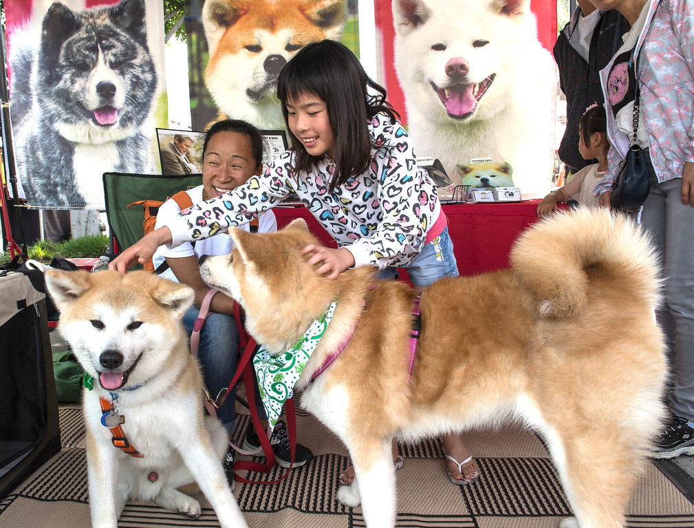 . Mindy Zhou, 10, pets a pair of Japanese Akita dogs Goya, left, and Waka as owner Judy Takamatsu looks on during The Annual West Covina Cherry Blossom Festival in West Covina on Saturday, March 18, 2017. (Photo by Ed Crisostomo, Los Angeles Daily News/SCNG)