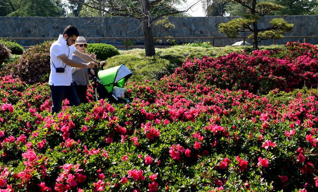. Visitors enjoy the 70 plus degree temperatures on Monday, March 20, 2017.  The weather is expected to cool with a chance of rain over the next few days.  The Japanese Garden is a 6.5 acres public Japanese garden located on the grounds of the Tillman Water Reclamation Plant adjacent to Woodley Park, in the Sepulveda Basin Recreation Area.  (Photo by Dean Musgrove, Los Angeles Daily News/SCNG)