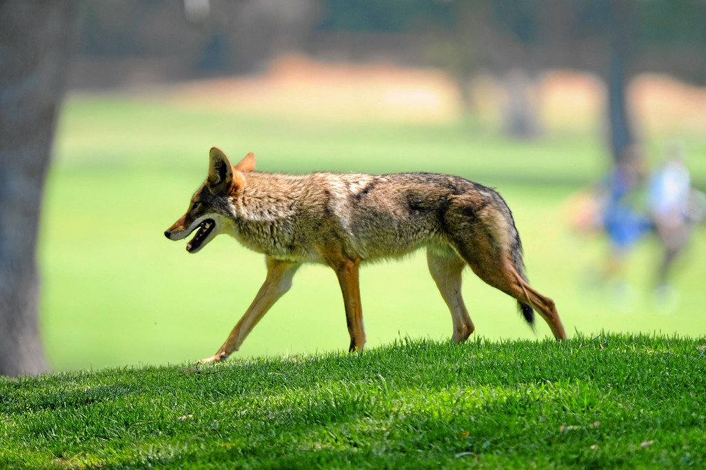 . A file photo of a coyote troting along the 10th holel at Wilson Golf Course in Griffith Park. (Photo by Michael Owen Baker)