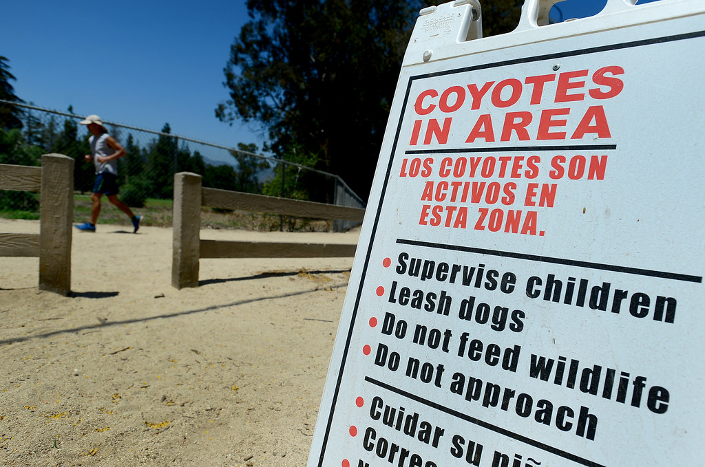 . A man jogs through the Crystal Springs picnic area in Griffith Park on Friday, June 9, 2017.  The Los Angeles Department of Recreation and Parks is stepping up efforts to discourage park-goers from feeding coyotes. Park rangers say they are seeing a growing number of coyotes hovering around picnic areas in city parks because people are giving the animals burritos and other human food.  This is harmful to the coyotes because they begin to lose their desire to hunt and they lose their fear of humans. Also, while coyote attacks on humans are rare,  most of the attacks that do occur take place as result of people feeding them the animals.  (Photo by Dean Musgrove, Los Angeles Daily News/SCNG)