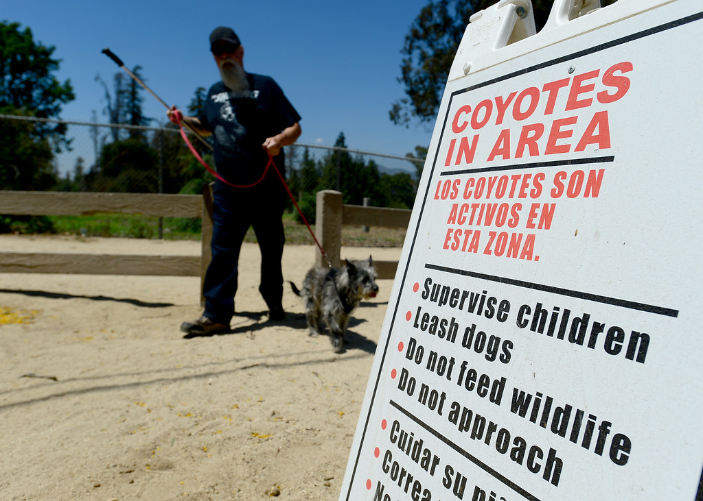. A man walks his dog near the Crystal Springs picnic area in Griffith Park on Friday, June 9, 2017.  The Los Angeles Department of Recreation and Parks is stepping up efforts to discourage park-goers from feeding coyotes. Park rangers say they are seeing a growing number of coyotes hovering around picnic areas in city parks because people are giving the animals burritos and other human food.  This is harmful to the coyotes because they begin to lose their desire to hunt and they lose their fear of humans. Also, while coyote attacks on humans are rare,  most of the attacks that do occur take place as result of people feeding them the animals.  (Photo by Dean Musgrove, Los Angeles Daily News/SCNG)
