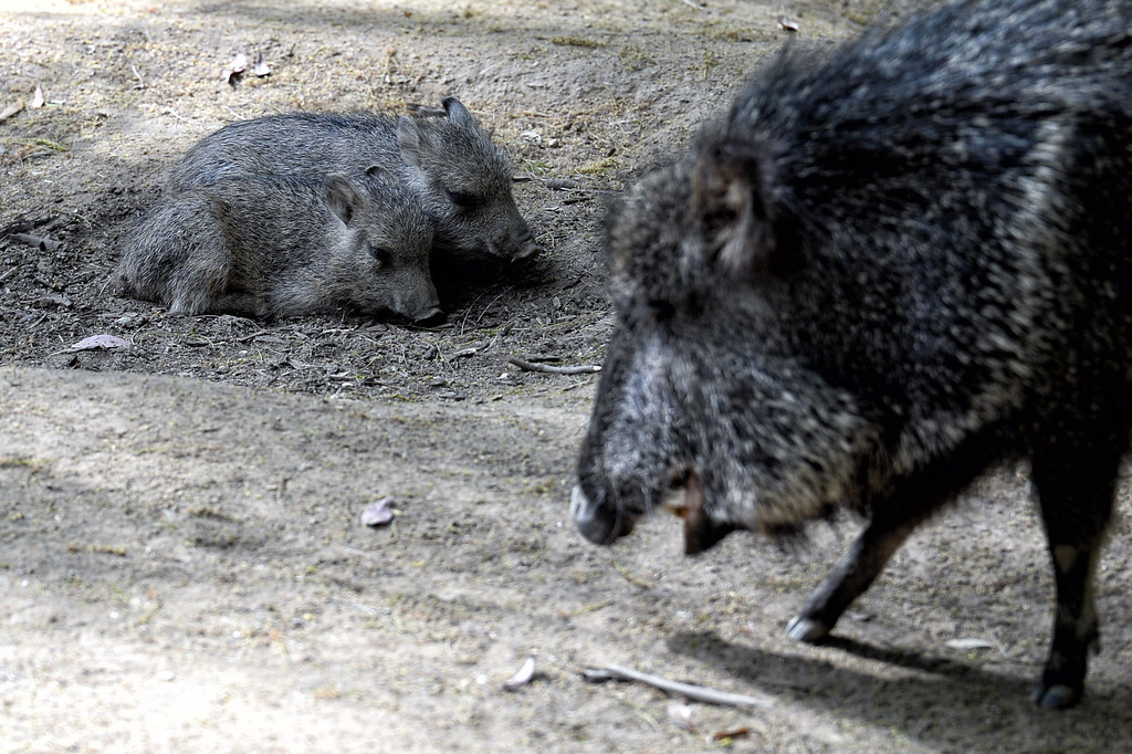 . Rare Paraguayan peccary triplets born earlier this month at the Los Angeles Zoo. Once thought to be extinct, peccaries bear a striking resemblance to warthogs, though they are not of the same family. The animals, found mostly in Paraguay and Bolivia, have bushy coats and small feet for their thorny native terrain. Their pig-like snouts are good for digging up fruit and de-spining the cacti that are part of their diet. The newborns--genders still unknown--came into the world June 3 and are the first offspring from mother and father peccaries residing at the zoo. The species is considered critically endangered, with a known population of 3,500 worldwide. (Photo by Hans Gutknecht/Los Angeles Daily News)