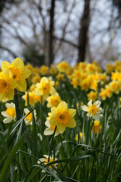 140419_Daffodils