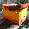 Bees from Andrew's swarm are overflowing