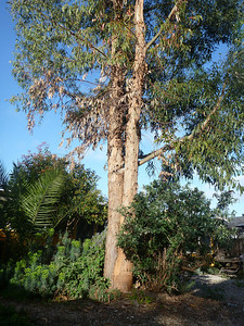 Our Eucalyptus Tree had to go.... It grew too fast and was at risk of falling onto our house.