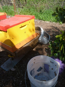 two buckets of bees... almost