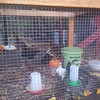 Our little chicks are doing well in the newly built cage (Chocola, Tartine and Bowie). See the big chickens, but no torture from them.