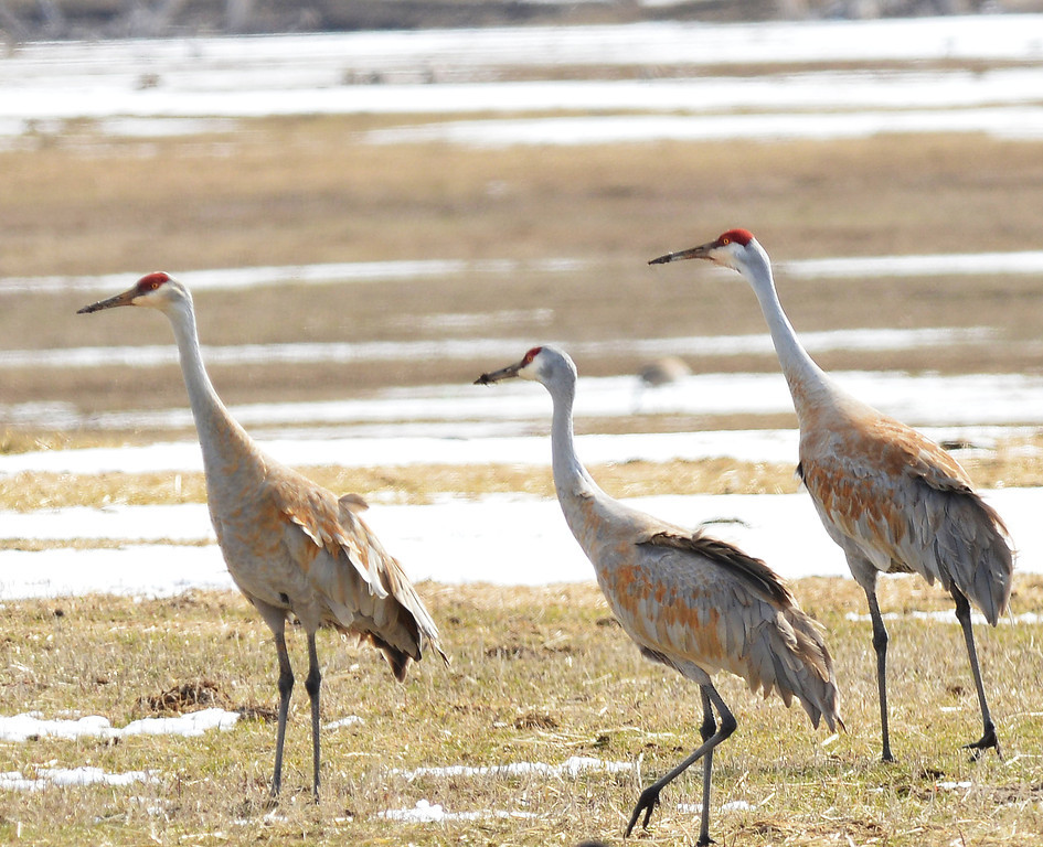 A small flock of Sandhill Cranes move along in a field near Parkman Wednesday morning. The Sandhill Cranes return to Wyoming to breed every March. The birds will remain in Wyoming before migrating south after August.