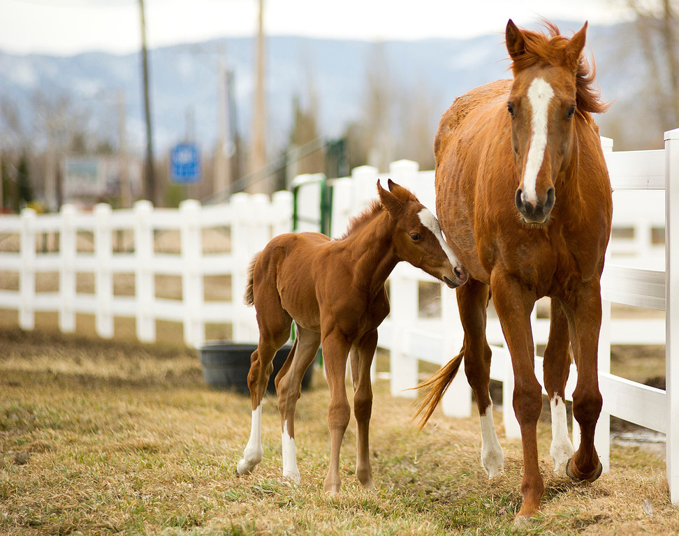 A week-old colt stays close to its mother outside the Sheridan Equine Hospital near Landon's Green House on Monday.