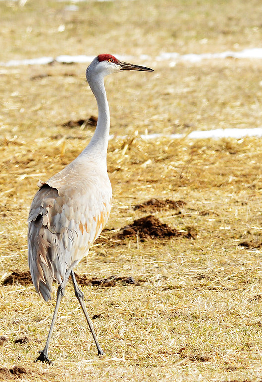 A Sandhill Crane walks in a field near Parkman Wednesday morning. The Sandhill Cranes return to Wyoming to breed every March. The birds will remain in Wyoming before migrating south after August.