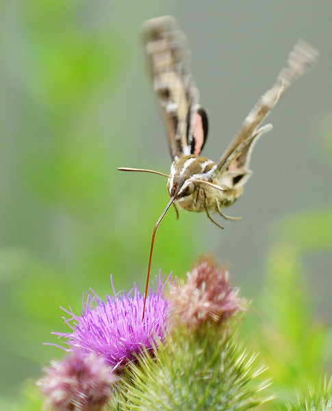 A white-lined sphinx moth drinks from a flower near the Sam Mavrakis Pond Tuesday in Sheridan. The moths are sometimes mistaken for hummingbirds at first glance. The Sheridan Press|Justin Sheely.