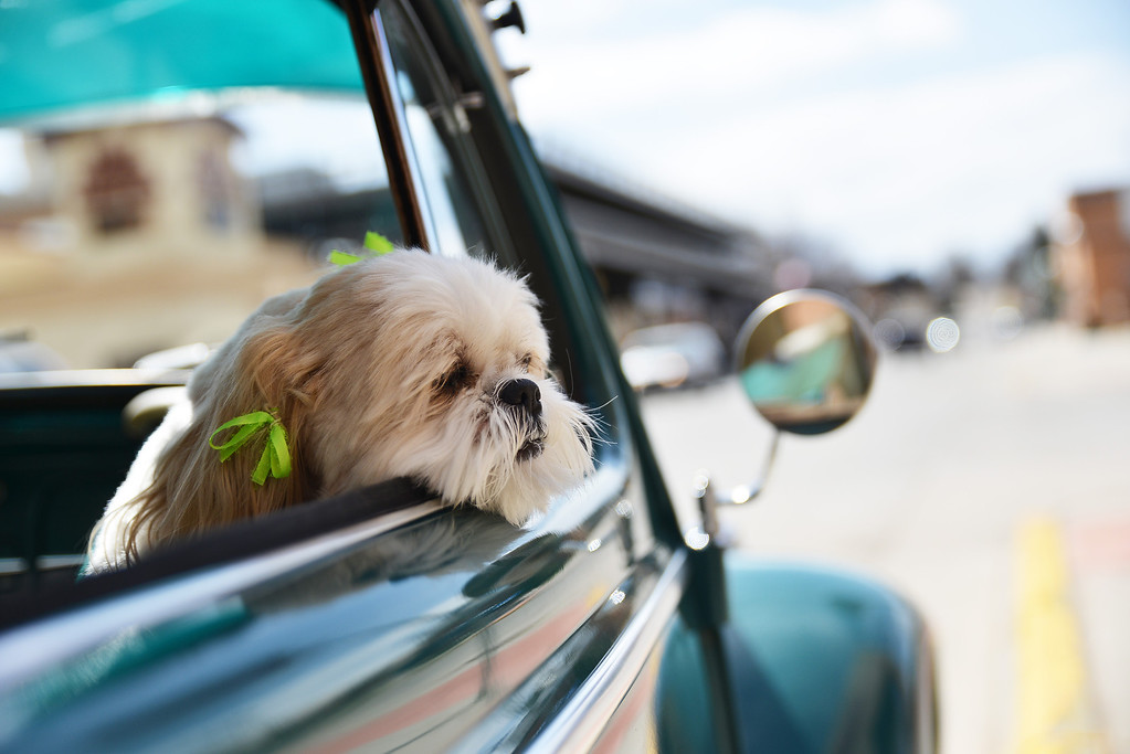 A Shih Tzu dog waits inside a 1964 VW Beetle as the owner makes a brief visit nearby on Brooks Street Tuesday morning in downtown Sheridan.