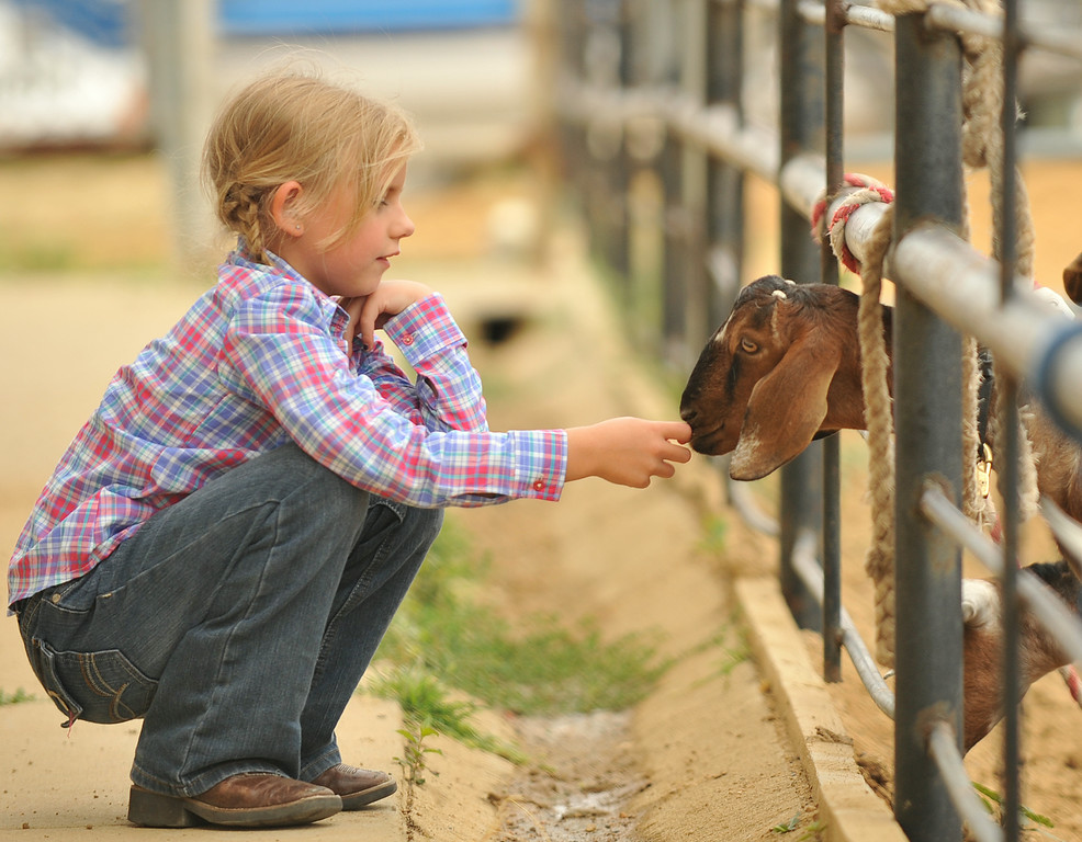 Seven-year-old Izabell Hendricks greets a goat tied to the fence in the goat tail tying event during the Sheridan County Rodeo Saturday at the Sheridan County Fairgrounds arena. The Sheridan Press|Justin Sheely.