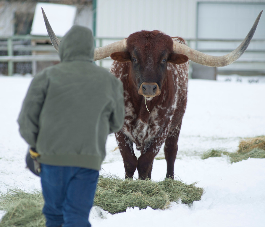 Johnson's largest and oldest Texas Longhorn Bull watches as he approaches with a bucket of alfalfa cubes Tuesday morning at his ranch in Big Horn.