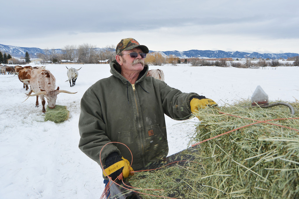 """Toby Johnson breaks up a bail of grass hay as his truck crawls along Tuesday at Johnson's ranch in Big Horn. Johnson has always preferred """"made in Wyoming"""" Texas Longhorn cattle. Johnson has breed show cows, bulls and steers that have won championships in the state show in Wyoming, Nebraska, and Texas. Johnson typically buys and sells cattle with other breeders."""