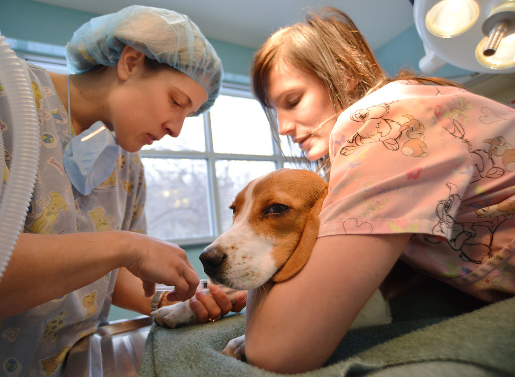 Veterinarian Technician Sandy Green, left, induces a 6-month-old Beagle with an injectable anesthetic as Kayla Graves holds him as they prepare to neuter at the Country Hospital for Animals Thursday on Coffeen Avenue.