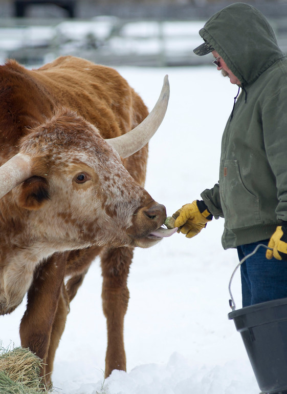 Toby Johnson hand feeds a longhorn with a cube of alfalfa at his ranch in Big Horn on Tuesday. The alfalfa cubes are usually feed only during especially cold days.