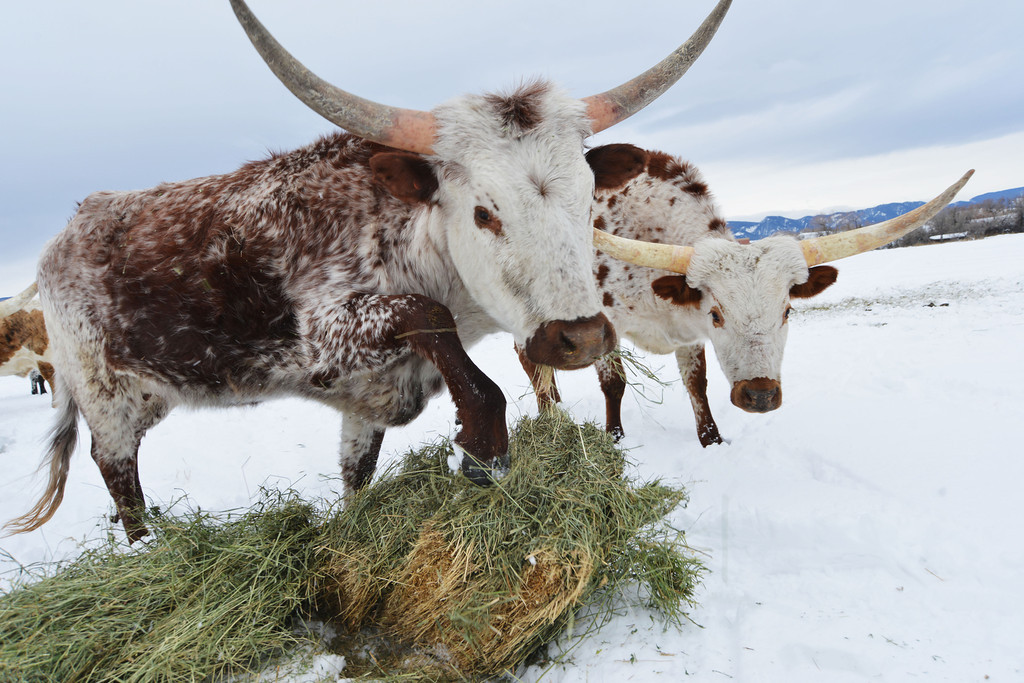A pair of Texas Longhorns move in as Johnson unloads bails of hay Tuesday at Big Horn.