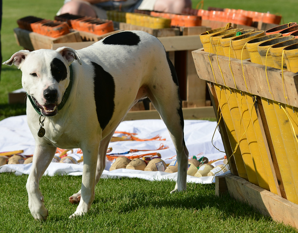 Thunder, a Lab-Dalmatian mix, walks by a box of fireworks mortars during setup for the Fourth of July fireworks show Wednesday afternoon at the Big Horn Equestrian Center. Each mortar shell is fired according to a timed sequence set by the firing control computer. The fireworks display is timed to by choreographed with music that will be broadcasted over the air by local radio during the show. Bruce Burns with his crew of certified pyrotechnics and volunteers have been working all week to get ready for the popular fireworks display at the polo fields. The fireworks show will light up a 10 p.m. Friday night.