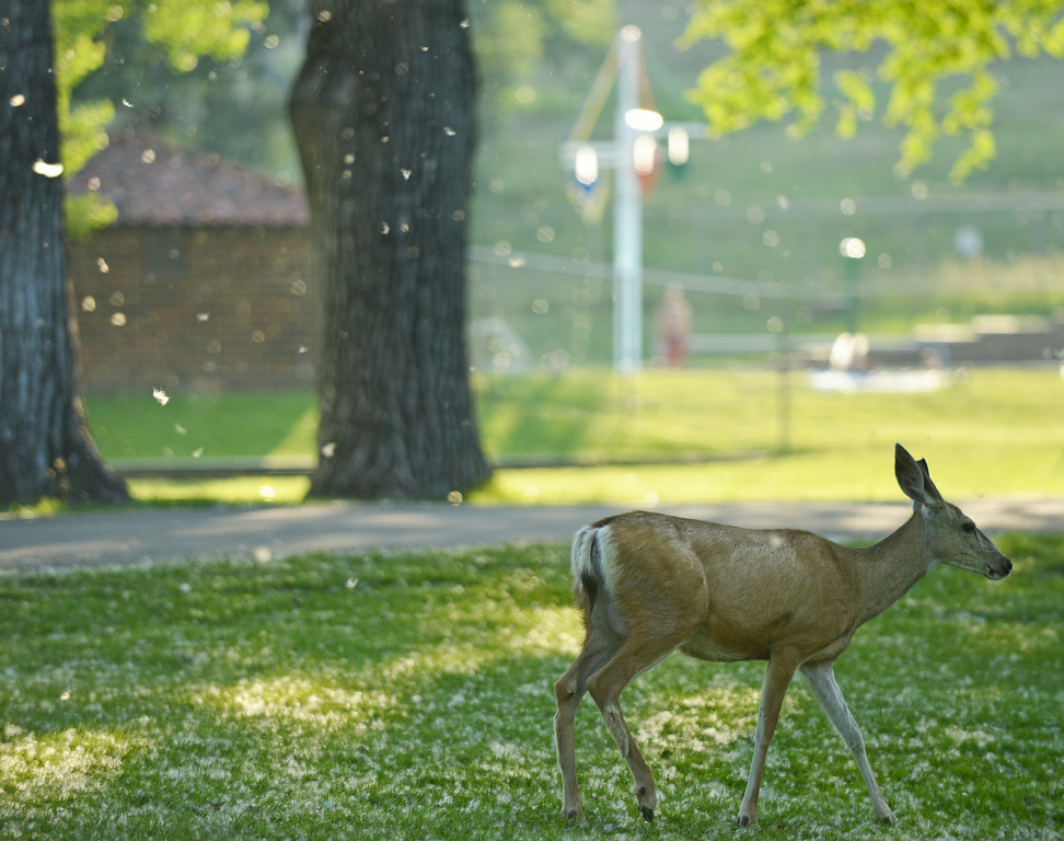 Cotton fills the air as a young deer walks across the grass Wednesday at Kendrick Park.