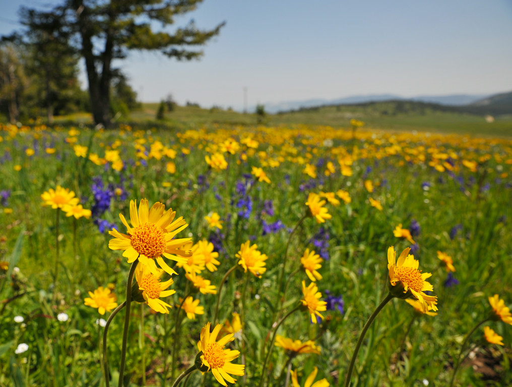 Wildflowers fill the fields on top of Red Grade Road in the Bighorn Mountains Wednesday afternoon. The Bighorns are known for the great variety of wildflowers that bloom throughout the summer.