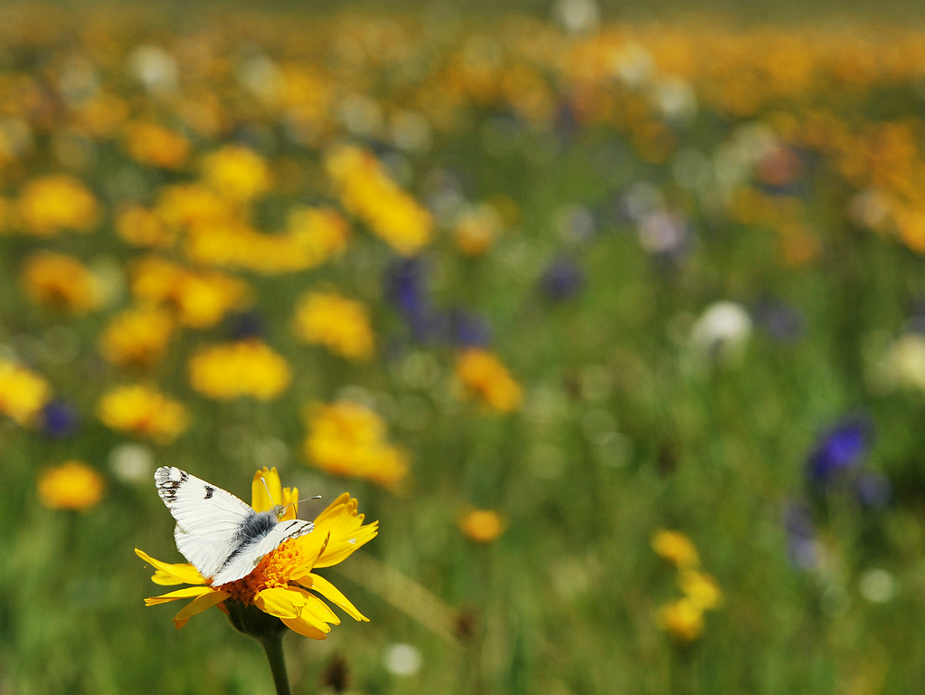 A butterfly lands on a wildflower on top of Red Grade Road in the Bighorn Mountains Wednesday afternoon. The Bighorns are known for the great variety of wildflowers that bloom throughout the summer.