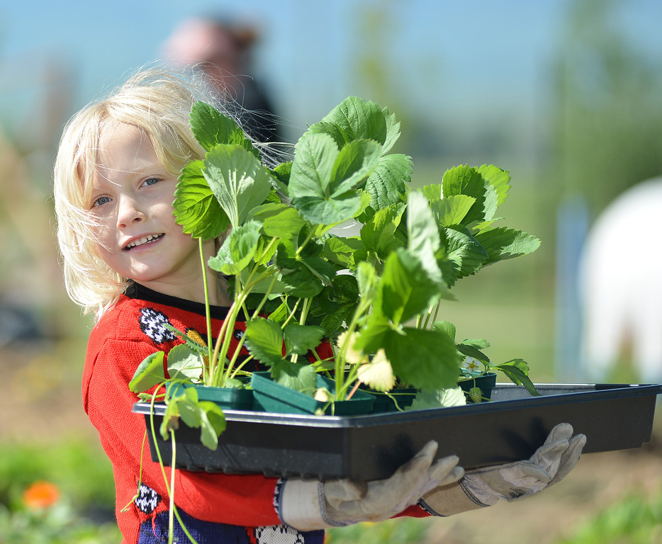 Six-year-old Taylor Music carries a tray of strawberries in the Sheridan College Youth Garden Thursday morning. The Sheridan College Agriculture department invited the community to plant a garden and will have the children return July 17 to see the progress of the garden and learn about garden bugs. Harvest will begin August 14.