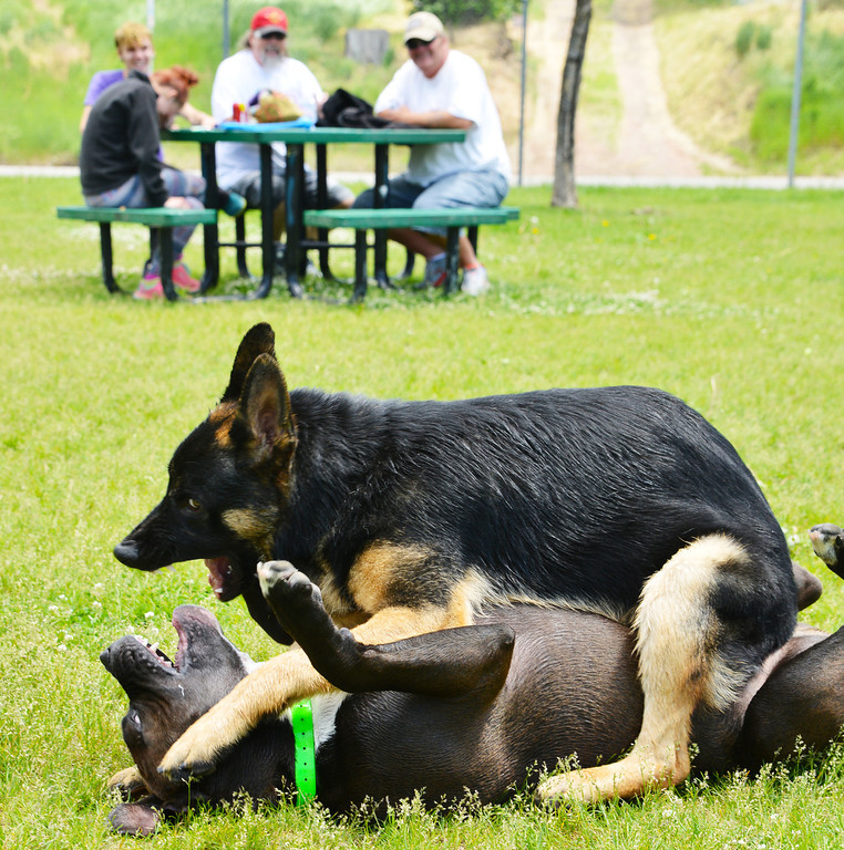 "Dog owners watch as Scot, a German Shepherd, plays with Gozer, a Double XXL Pitbull, Wednesday at the Dog Park on Sheridan Avenue. The owners describe the two canines as ""best buddies."" The park is a fenced area for dog owners to bring their pets for exercise and social interaction with other dogs."