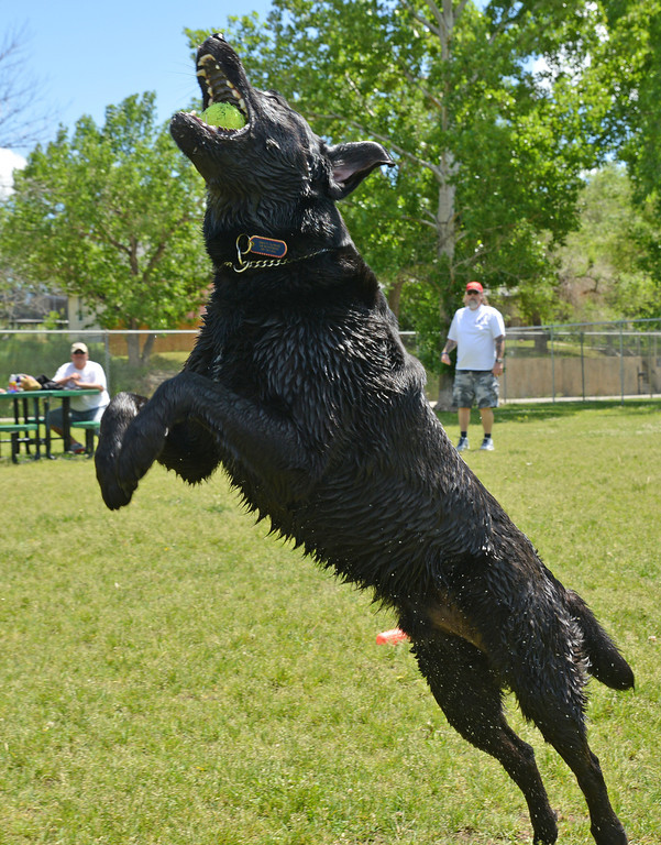 Roscoe, a Black Lab-Australian Shepherd mix, jumps to catch a ball Wednesday at the Dog Park on Sheridan Avenue. The park is a fenced area for dog owners to bring  their pets for exercise and social interaction with other dogs.