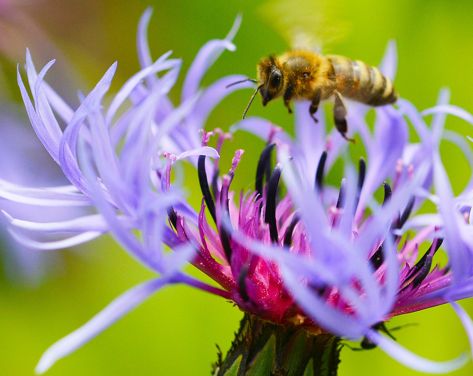 A bee visits a bachelor button flower Tuesday at the Brinton Museum gardens.
