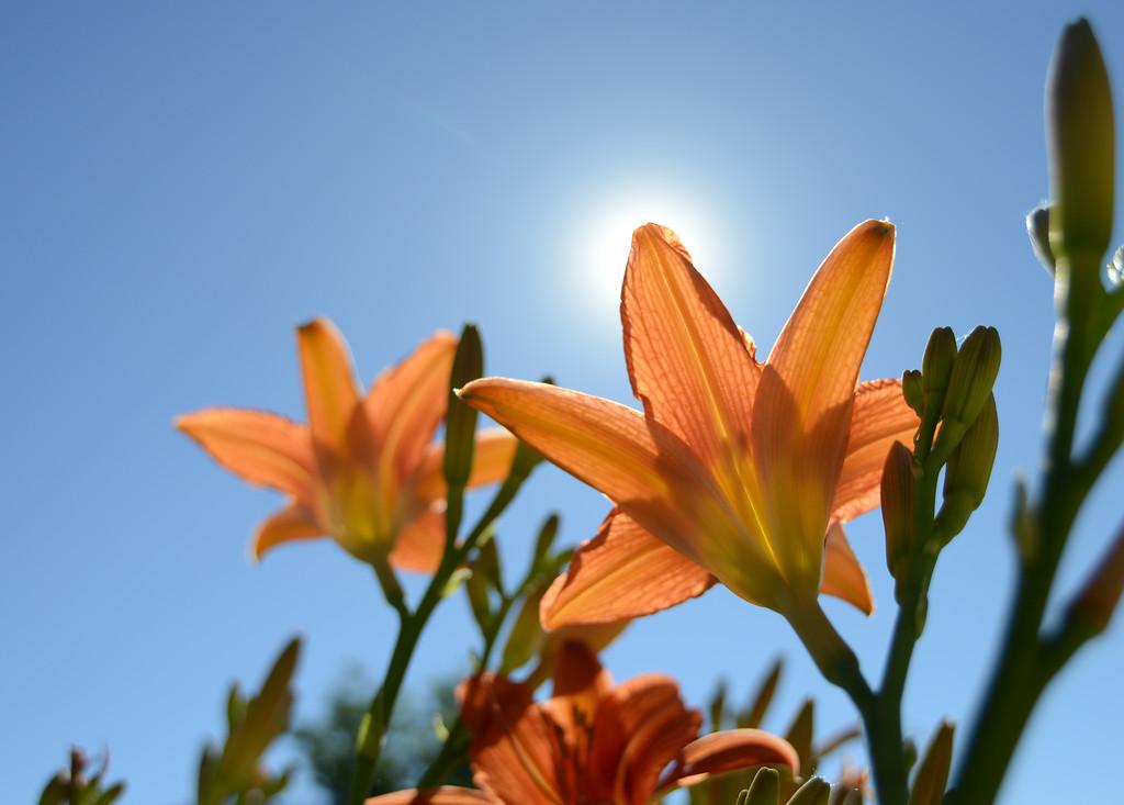 Tiger Lillies light up under the sun Friday morning at Kendrick Park. Justin Sheely/The Sheridan Press.