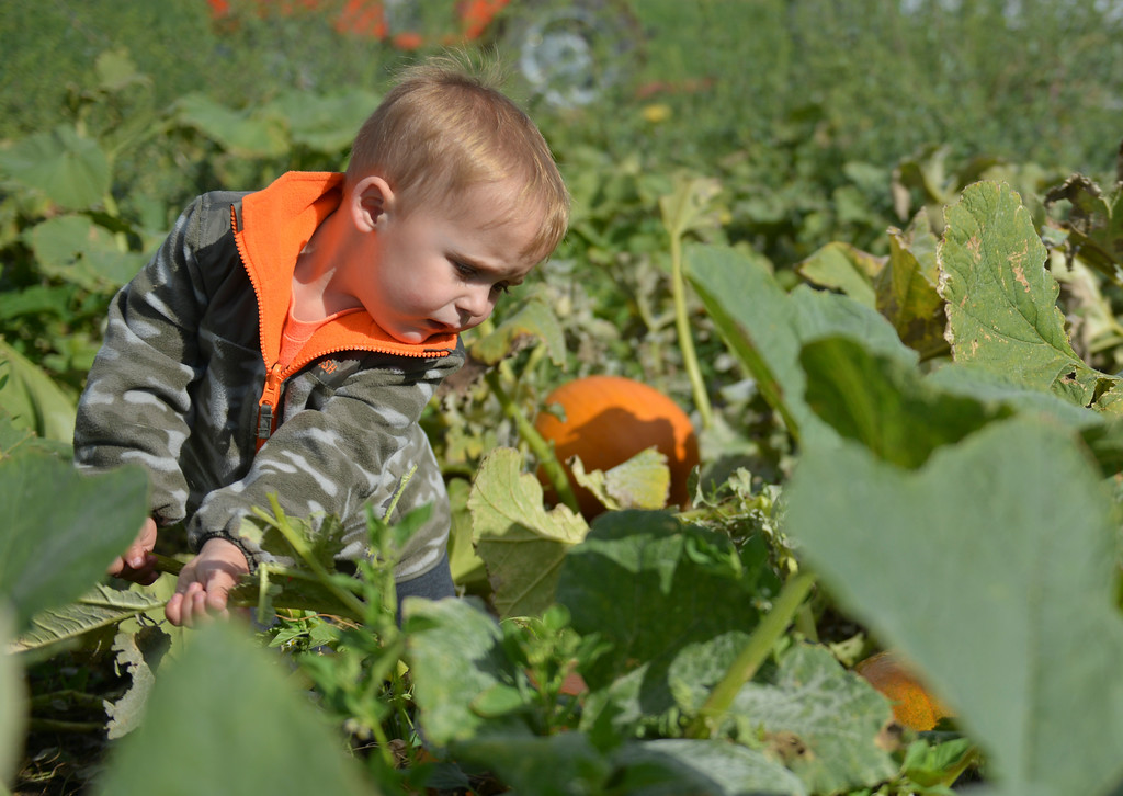 Justin Sheely | The Sheridan Press<br /> Chase Parks pulls away some leaves to get a look at a pumpkin on the opening day at the Koltiska Pumpkin Patch Wednesday east of Sheridan. The Koltiska Pumpkin Patch is open Wednesday through Friday, 3 p.m. to 6 p.m., Saturday and Sundays Noon to 6 p.m. The pumpkin patch is located at the Koltiska farm on Cat Creek Road – drive east on 5th street and follow the orange signs.