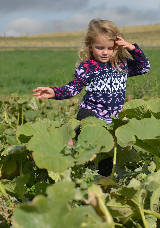 Justin Sheely | The Sheridan Press<br /> Four-year-old Ava Hattervig looks for the perfect pumpkin on the opening day at the Koltiska Pumpkin Patch Wednesday east of Sheridan. The Koltiska Pumpkin Patch is open Wednesday through Friday, 3 p.m. to 6 p.m., Saturday and Sundays Noon to 6 p.m. The pumpkin patch is located at the Koltiska farm on Cat Creek Road – drive east on 5th street and follow the orange signs.