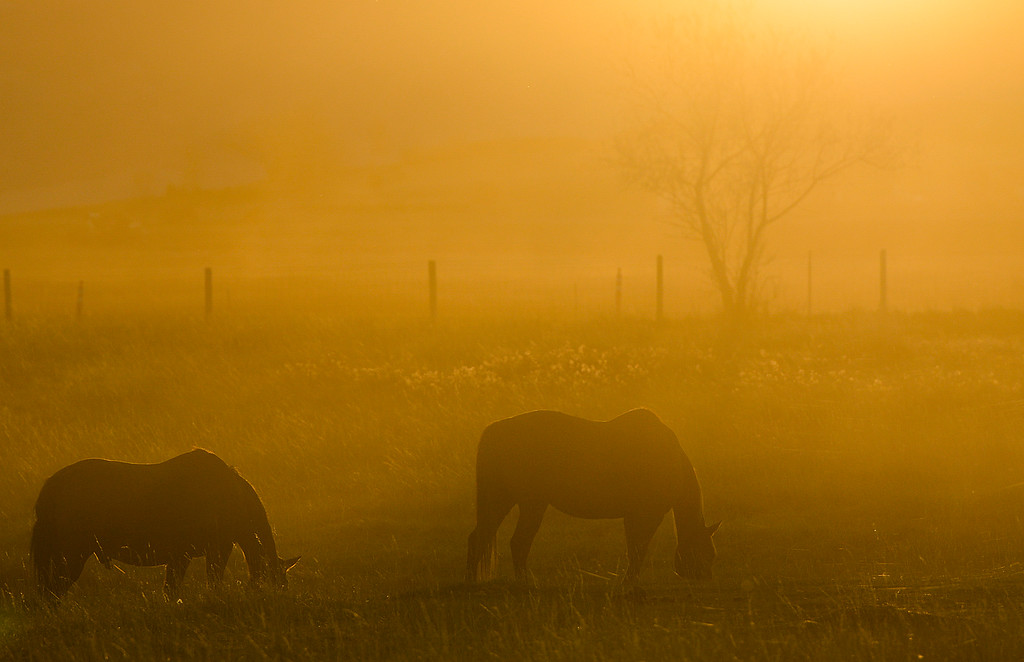 Justin Sheely | The Sheridan Press<br /> Horses graze in a field off West 5th Street as the setting sun illuminates dust in the air Wednesday evening. Warm, sunny weather is expected for Veterans Day and the rest of the week with temperatures averaging in the mid 60s.