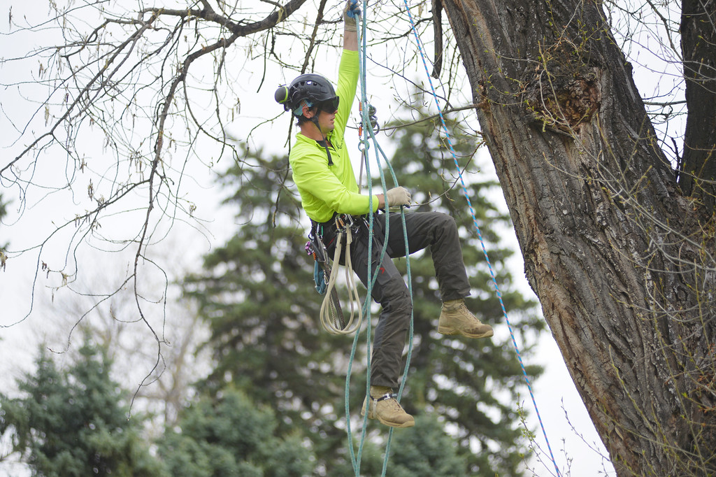Justin Sheely | The Sheridan Press<br /> Professional tree climber and certified arborist Nicholas Patterson demonstrates his tree climbing techniques on a 90-foot-tall cottonwood tree during the City Tree Day Saturday at Kendrick Park. Patterson owns a business for pruning trees without the use of a bucket lift. The events at Kendrick park were presented by Sheridan's Tree Board in celebration for National Arbor Day, which is April 29. The city of Sheridan is now in its 8th year as a designated Tree City USA and it is also the only city in Wyoming that has the Tree Campus USA designation.