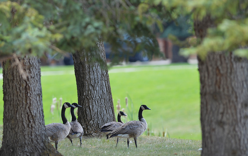 Justin Sheely | The Sheridan Press<br /> Canada Geese walk under a row of trees at a ranch near Big Horn Wednesday afternoon.