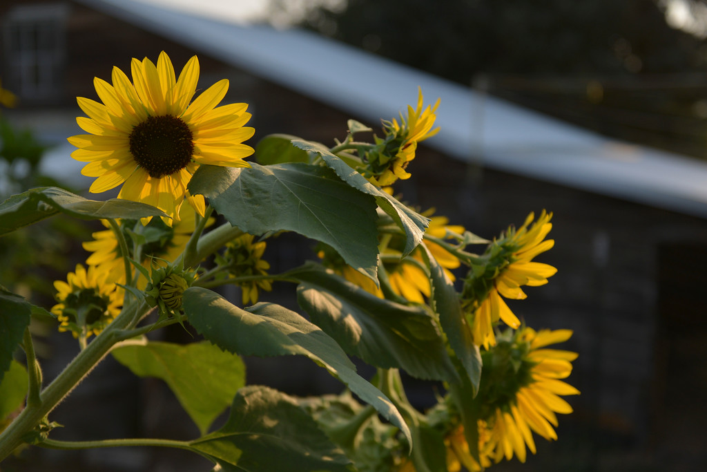 Justin Sheely | The Sheridan Press<br /> Sunflowers catch the morning light Tuesday at the Emerson Community Garden on Emerson Street in Sheridan.