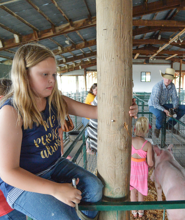 Justin Sheely | The Sheridan Press<br /> Eleven-year-old Morgan Kepley waits as a clinic participant shaves a 4-H member's pig during the 4-H swine clinic Friday at the Sheridan County Fairgrounds. 4-H hosted clinics over the weekend followed by a weigh-in to help the 4-H youth learn more about how to show their farm animals.