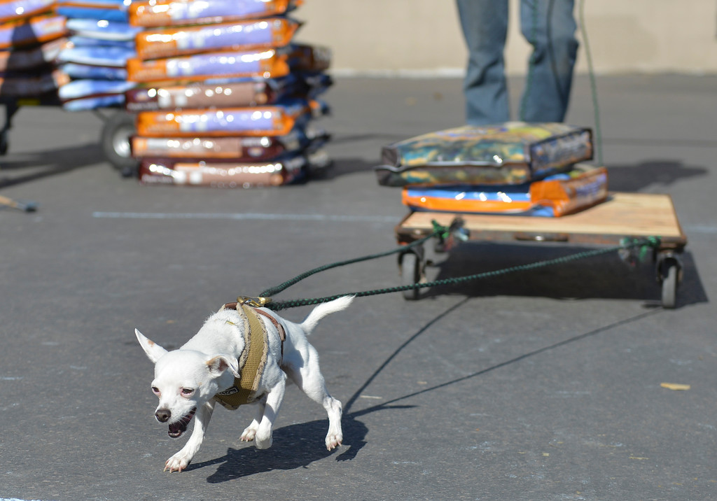 Justin Sheely | The Sheridan Press<br /> A chihuahua pulls a wagon with two bags of dog food during the fourth-annual Dog Weight Pull contest Saturday at Muddy Paw Prints Pet Supply.