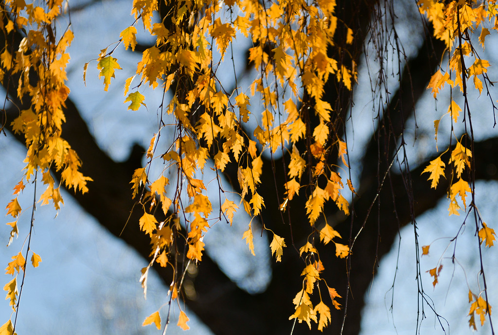Justin Sheely | The Sheridan Press<br /> Yellow leaves are backlit by the morning sun Wednesday in downtown Sheridan.