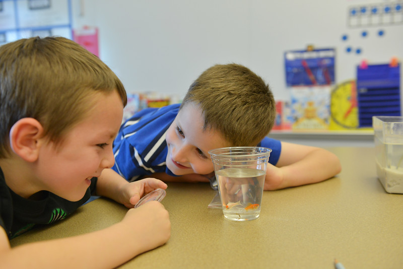 Justin Sheely | The Sheridan Press<br /> First graders Zake Fisher, left, and Anthony Tracy look at a cup with goldfish during an after school program at Woodland Park Elementary School. The students are in a science program called Observing Aquariums, which teaches the youth about fish anatomy and their habitat.