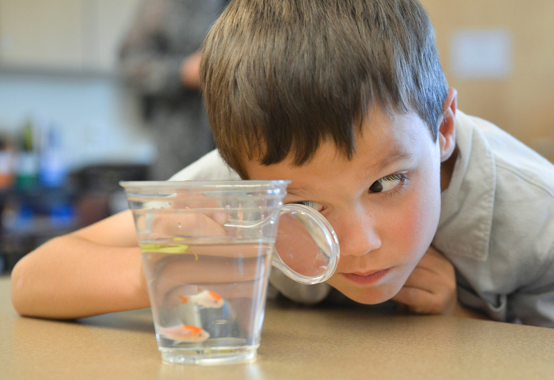 Justin Sheely | The Sheridan Press<br /> First-grader Logan Jenks uses a magnifying glass to get a closer look at goldfish during an after school program at Woodland Park Elementary School. The students are in a science program called Observing Aquariums, which teaches the youth about fish anatomy and their habitat.
