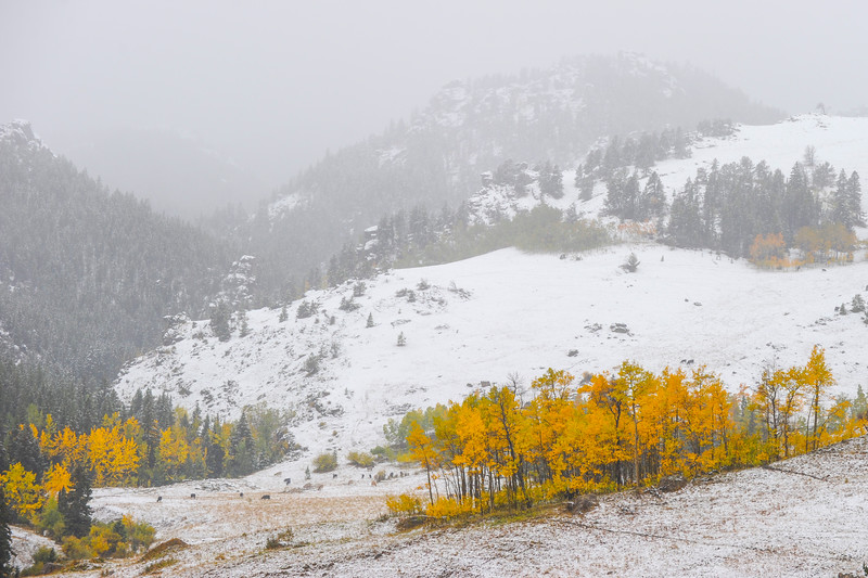 Justin Sheely | The Sheridan Press<br /> Aspen trees stand out from the snowy countryside last September in the Bighorn National Forest.