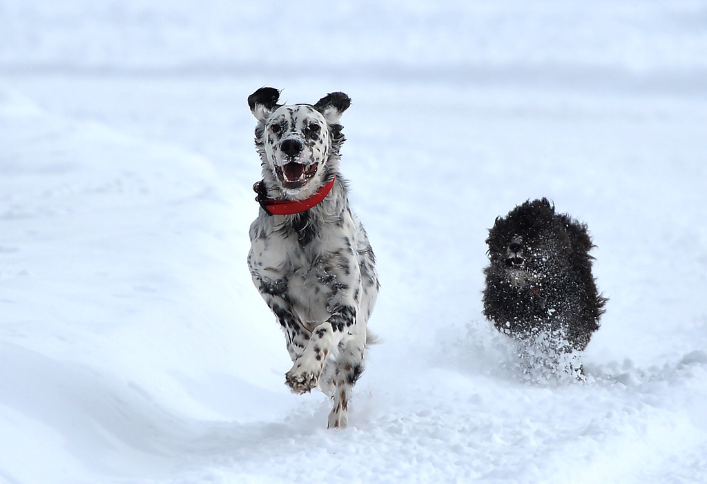 Justin Sheely | The Sheridan Press<br /> A couple of dogs chase each other in the snow at Kendrick Park Wednesday morning. Up to ten inches of snow accumulation was reported in parts of Sheridan County.