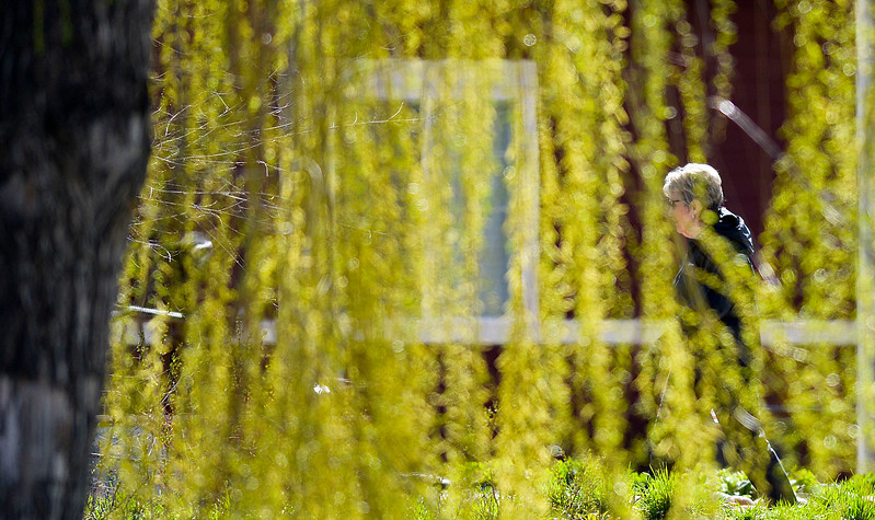 Justin Sheely | The Sheridan Press<br /> A woman walks past a budding willow tree Tuesday morning in Kendrick Park. Thursday is expected to be warm with a high of 71, Friday and Saturday could see rain.