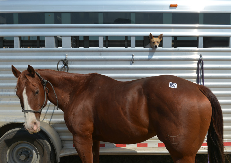 Justin Sheely | The Sheridan Press<br /> A ranch dog pokes its head from a horse trailer during the Sheridan Elks Youth Rodeo Saturday at the Sheridan County Fairgrounds.